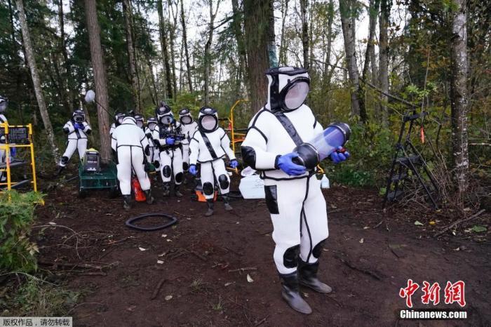 """美国华盛顿州,昆虫学家团队发现一处大黄蜂巢穴,团队成员全副武装捕杀这种能致人死亡的""""杀人蜂""""。"""