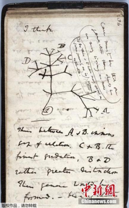 """在其中一本笔记本中,他画出了物种进化的数个可能性示意图。之后在1859年出版的《物种起源》(On the Origin of Species)中,则附上了在此基础上更为精致的插图。图为遗失笔记上1837年绘制的""""生命之树""""草图。"""