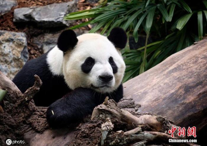 旅加大熊猫平安返乡 卡尔加里动物园表达思念