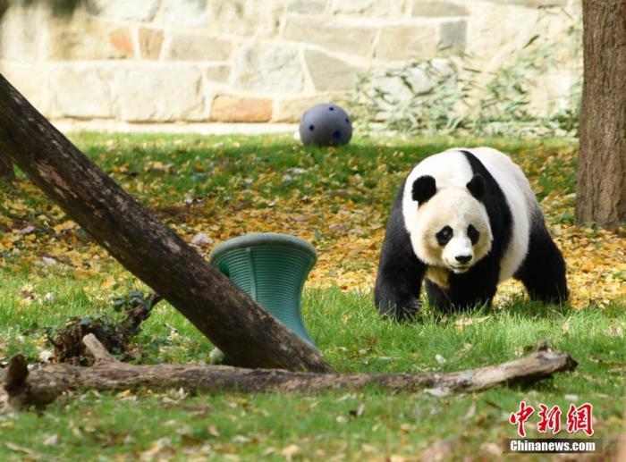 """8月21日,大熊猫""""美香""""在美国华盛顿国家动物园诞下一只雄性幼崽。园方日前为其取名""""小奇迹"""",11月29日它即将迎来出生第100天。图为11月22日拍摄的大熊猫""""美香""""。 中新社记者 陈孟统 摄"""