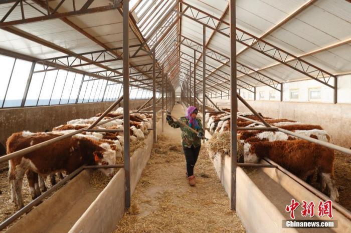 资料图:工作人员在牛羊交易市场的牛寄养棚内喂牛。<a target='_blank' href='http://www.chinanews.com/'>中新社</a>记者 韩海丹 摄
