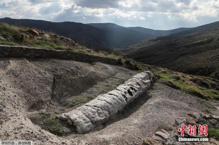 当地时间1月21日,希腊莱斯博斯岛,罕见的化石树被挖掘出土。