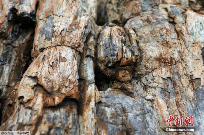 当地时间1月21日,希腊莱斯博斯岛,罕见的化石树被挖掘出土。图为近距离看化石树的外皮。