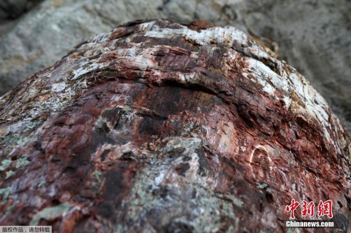 当地时间1月21日,希腊莱斯博斯岛,罕见的化石树被挖掘出土。图为化石树细节展示。