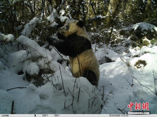 Wild giant pandas in China no longer 'endangered': government