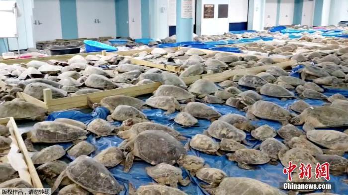 2月19日消息,近日,美国得州遭遇极寒天气,大量海龟被冻僵。图为当地民众将冻僵的海龟送往南帕德雷岛的一个疏散中心救助。