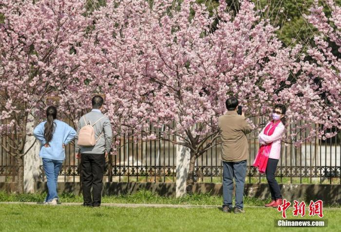 2月19日,随着气温上升,武汉大学图书馆附近一片樱花开放。众多游客围站在数棵樱花树旁,拍照留念。图为游客在盛开的樱花下留影。张畅 摄