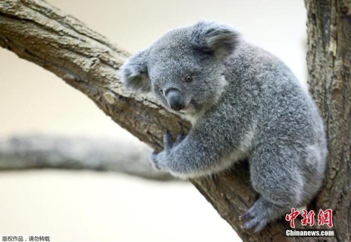 干旱野火、滥伐树木 澳大利亚考拉3年内锐减约30%