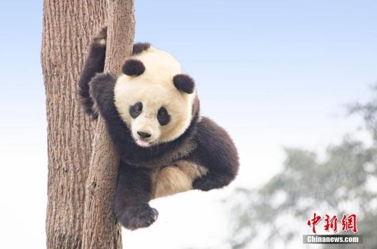 Newly released genomes provide insight into giant panda evolution