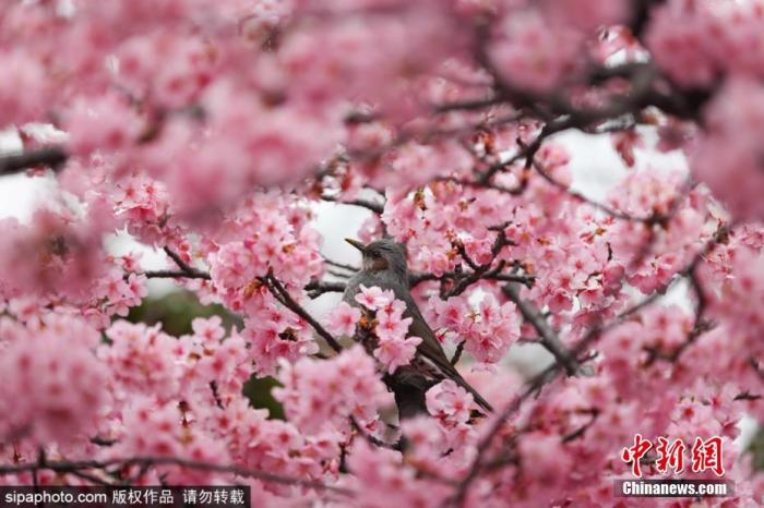 当地时间2月26日,日本东京都世田谷区樱花盛开,市民户外拍照留念。日本气象厅表示,今年3月由于日本各地的气温普遍高于往年,因此将提前打破樱花的休眠状态,促使樱花的花芽快速成长。图片来源:Sipaphoto版权作品 禁止转载