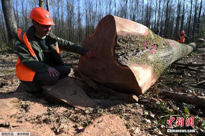 当地时间3月8日,法国巴黎的一处林地里工人正在砍伐橡树。据悉,这些橡树是前一周被选出来用于重建巴黎圣母院大教堂的材料。据报道,法国政府计划使用相同材料来修复巴黎圣母院的标志性尖顶,为此需要约1000棵树龄在150岁至200岁的橡树。法国政府将从国内的国有林地和私有林地内寻找合适的橡树,并接受来自海外的捐赠。