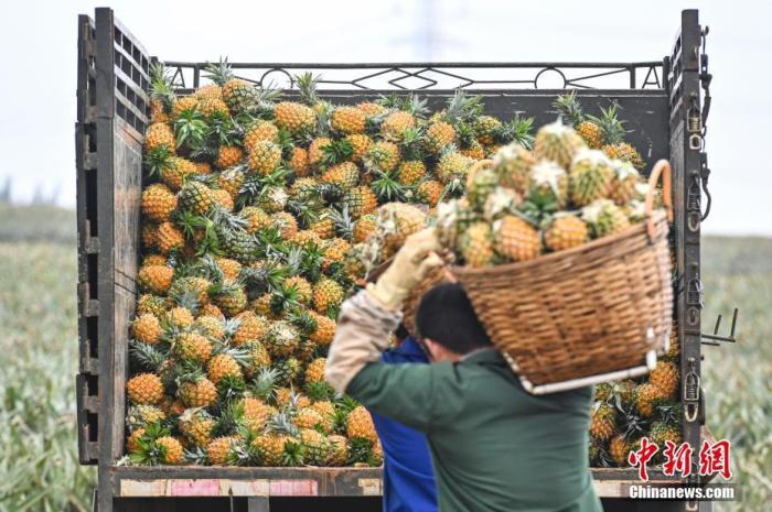 资料图:菠萝。 <a target='_blank' href='http://www.chinanews.com/'>中新社</a>记者 陈骥旻 摄