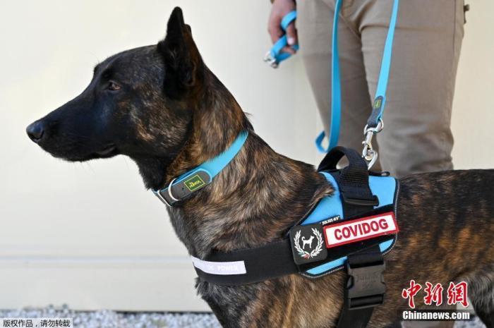 资料图:意大利正在接受训练的新冠嗅探犬。