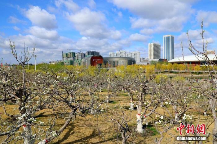 春季库尔勒市梨花开始绽放。 杨厚伟 摄