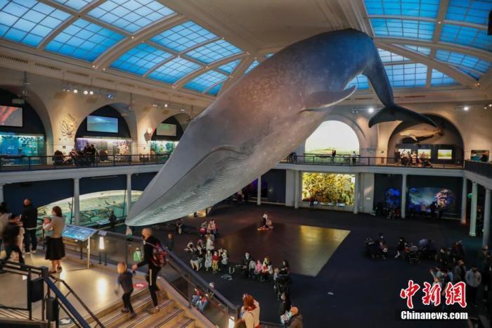 当地时间4月1日,观众在位于纽约的美国自然历史博物馆海洋馆中参观,新冠疫情发生后该馆曾闭馆近半年,自去年9月重新开放以来,每日接待观众数量逐渐增多。 /p中新社记者 廖攀 摄