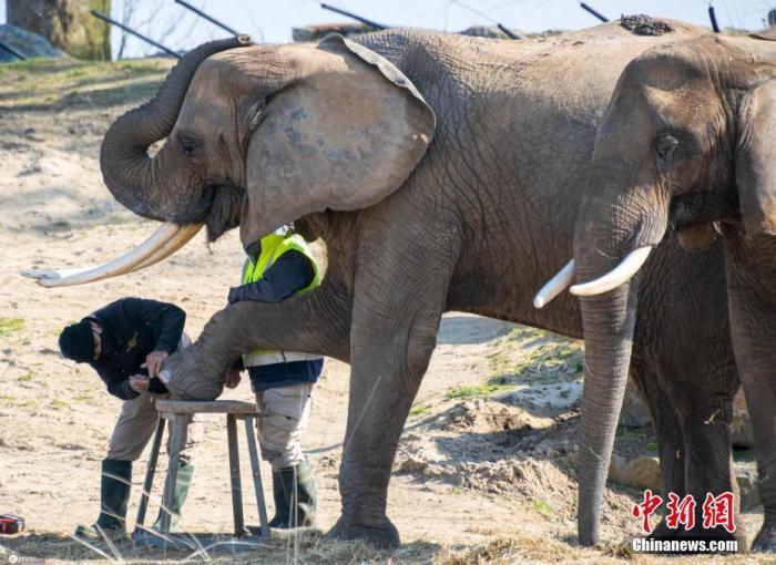 """4月8日报道(具体拍摄时间不详),你想知道如何修剪大象的脚趾甲吗?瞧瞧这组图就有答案!两只非洲象Suzy 和Gitana在比利时的天堂动物园接受了专业的""""足疗""""服务,它们将脚抬到凳子上,接受工作人员的专业剪脚趾甲服务,这些大象享受足疗的精彩照片是由退休护士Martine Cettour-Baron拍摄的,她也是一名热心的野生动物摄影师。 图片来源:ICphoto"""