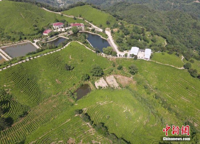 随着大悟县茶叶产业发展,全县54万农村人口中,涉茶行业人员达10万人。图为航拍大悟县三里城镇茶叶基地。邹浩 摄