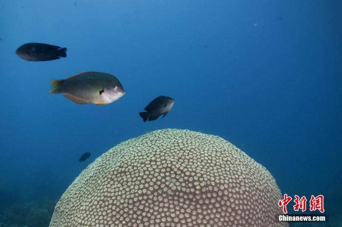 在球形珊瑚上方,胸斑海猪鱼和长崎雀鲷游过。 周元杰 摄