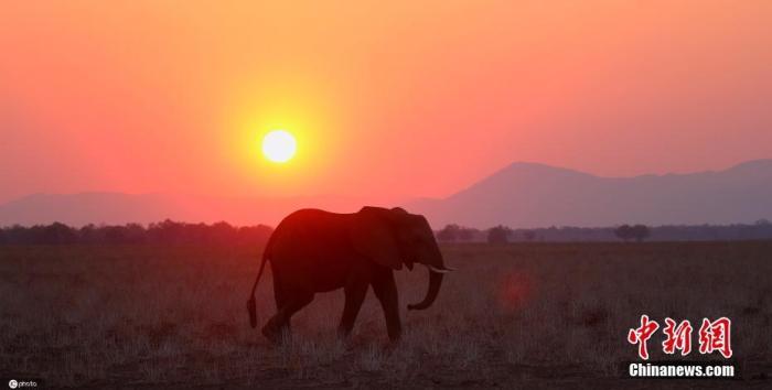 资料图:非洲大草原夕阳下,大象在行走。图片来源:ICphoto