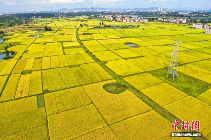 """进入七月,迎来夏收季节。在""""赣中粮仓""""江西省吉安市,早稻即将开镰收割,一块块金黄色的稻田镶嵌在大地,风光旖旎,呈现出一派丰收景象。 李军 摄"""