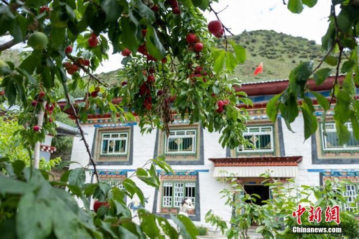 """位于西藏自治区尼洋河畔的林芝嘎拉村,每逢春天,桃花夹岸而开,青稞吐绿、落英缤纷,已成为远近闻名的旅游目的地。上世纪八十年代,嘎拉村村民多在色季拉山山沟里伐木维生。如今风景秀丽的""""桃花源"""",是从当年的伐木村转变而来。图为7月22日,中新社记者拍摄的嘎拉村村民达瓦坚参的藏式院落,院内李子树硕果累累。 中新社记者 江飞波 摄"""