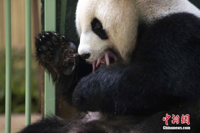 """当地时间8月2日,法国中部圣艾尼昂市博瓦勒野生动物园对外宣布,中国旅法大熊猫""""欢欢""""当天凌晨诞下双胞胎。图为""""欢欢""""与刚出生的幼崽在一起。 <a target='_blank' href='http://www.kedivino.com/'>中新社</a>发 法国博瓦勒野生动物园 供图"""