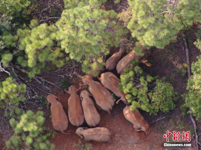 图为林地中的象群。 云南省森林消防总队 供图