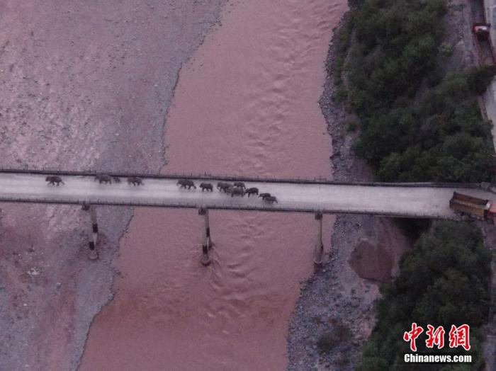 北移亚洲象安全渡过元江。云南省森林消防总队 供图