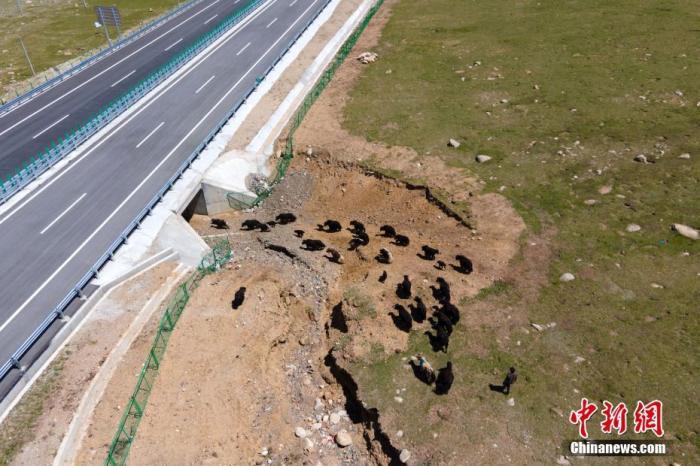 8月21日,据西藏自治区交通运输厅介绍,当日,G6京藏高速公路那曲至羊八井段通车试运行。至此,全长295公里的G6京藏高速公路那曲至拉萨段(简称那拉高速公路)全线通车,这是当前世界海拔最高的高速公路。资料图为6月29日,那曲当地牧民的牦牛群通过那拉高速。该项目投入重金,在沿线预留设置野生动物及牲畜通道。 中新社记者 江飞波 摄