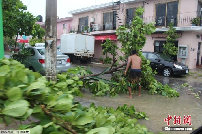 """当地时间8月28日,飓风""""诺拉""""向墨西哥西南海岸方向移动,墨西哥Manzanillo当地一棵树被风吹断,横卧街头。"""