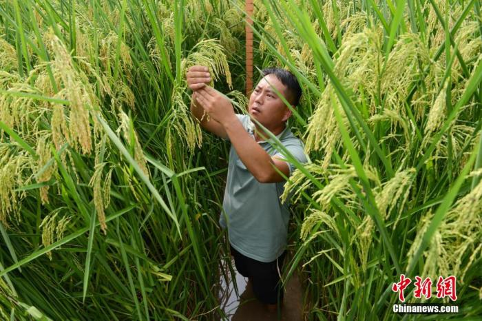 """""""巨型稻""""不惧""""火炉""""高温考验 将在重庆大面积推广图片"""