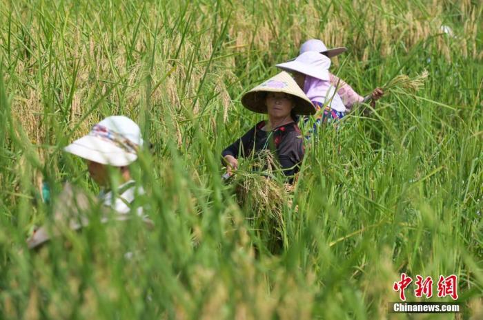 """村民们穿梭在""""巨型稻""""田间,挥镰收割。 何蓬磊 摄"""