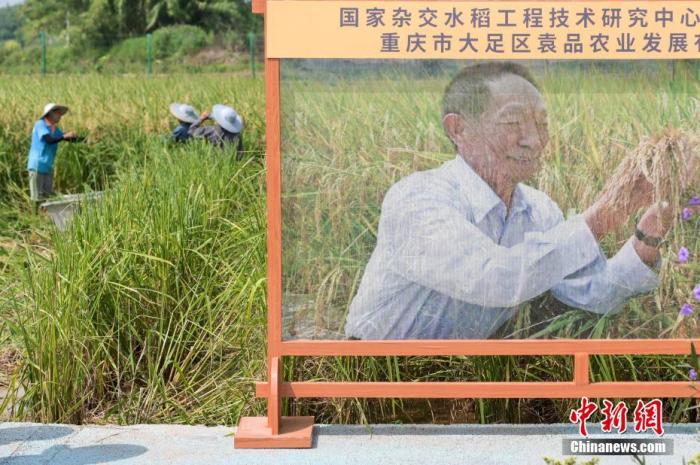 """重庆大足首批巨型稻开始收割 见证袁隆平""""禾下乘凉梦"""""""