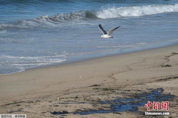当地时间10月3日,美国加利福尼亚州亨廷顿海滩,海鸥飞过被原油污染的沙滩。