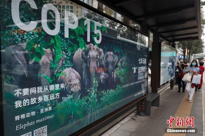 10月11日,云南省昆明市街头的COP15海报。当日,《生物多样性公约》缔约方大会第十五次会议(COP15)在云南省昆明市开幕。 <a target='_blank' href='http://www.chinanews.com/'>中新社</a>记者 李嘉娴 摄