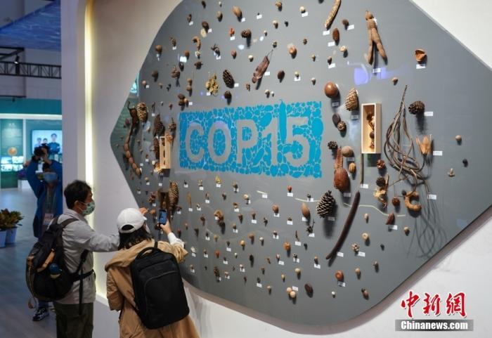 10月12日,云南昆明,联合国《生物多样性公约》第十五次缔约方大会与会嘉宾参观云南生物多样性保护实践与成果展。图为嘉宾观看展出的COP15种子墙。 中新社记者 崔楠 摄
