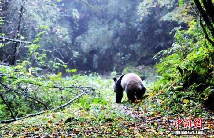 资料图:大熊猫。<a target='_blank' href='http://www.chinanews.com/'>中新社</a>记者 安源 摄