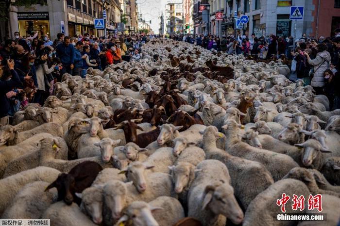 """当地时间2021年10月24日,几千只羊进入了西班牙马德里市中心的街道,准备参加一年一度的""""迁徙放牧节""""(Transhumance Festival)。自1994年以来,这一活动主张将迁移和大规模畜牧业作为保护生物多样性和应对气候变化的方法。"""