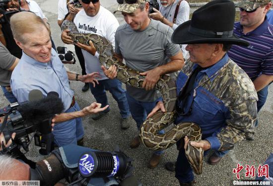 近日,美国佛罗里达州进行蟒蛇捕捉挑战赛,猎人们将跋涉在佛州沼泽地,希望能拿获一条伟大的缅甸蟒蛇并一举赢得奖金。