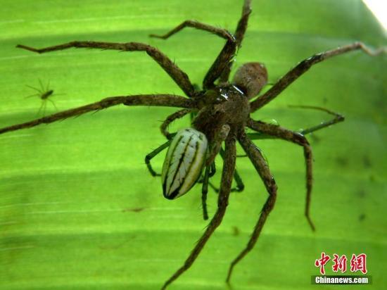材料图:蜘蛛。 钟欣 摄