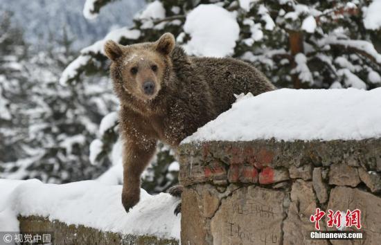 资料图:棕熊。