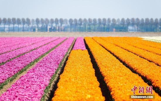材料图:荷兰,斑斓的郁金香田。 图片起源:视觉中国