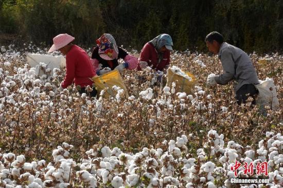 资料图:新疆生产建设兵团第二师31团9连农户在采收新棉。确·胡热 摄